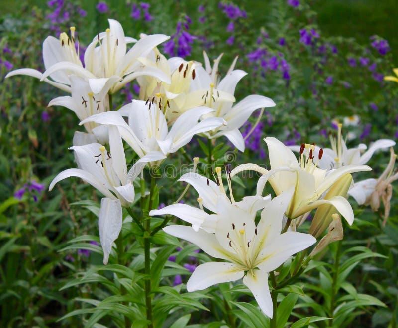 Download Flower Garden stock photo. Image of white, plants, flower - 74326232