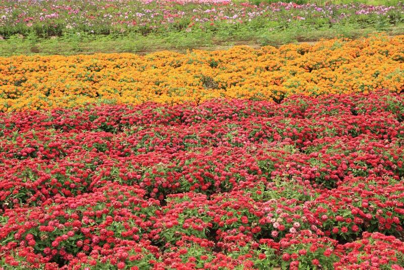 Download Flower Garden Of Zinnia Stock Photo. Image Of Summer   58245964