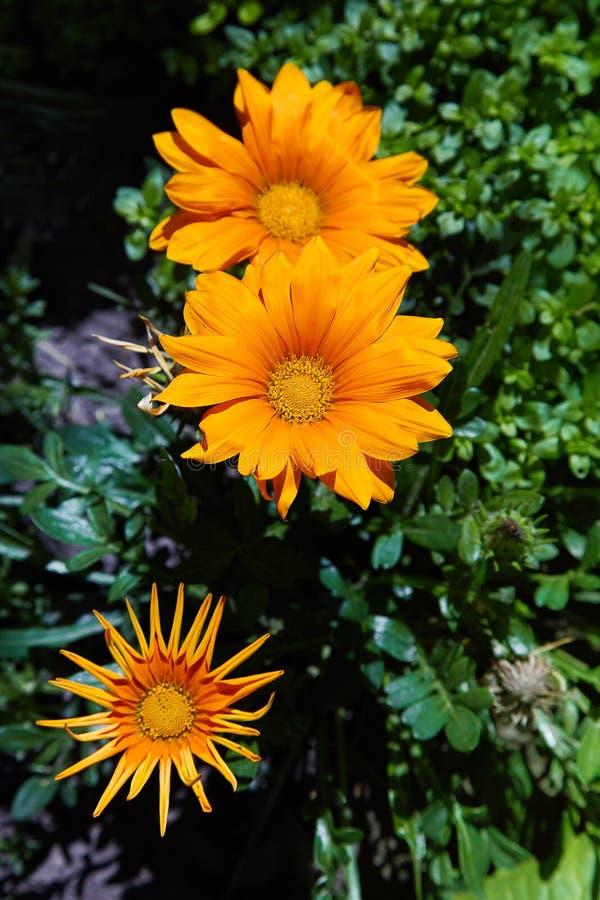 Flower gazania: yellow Flower gazania, African daisies stock photo