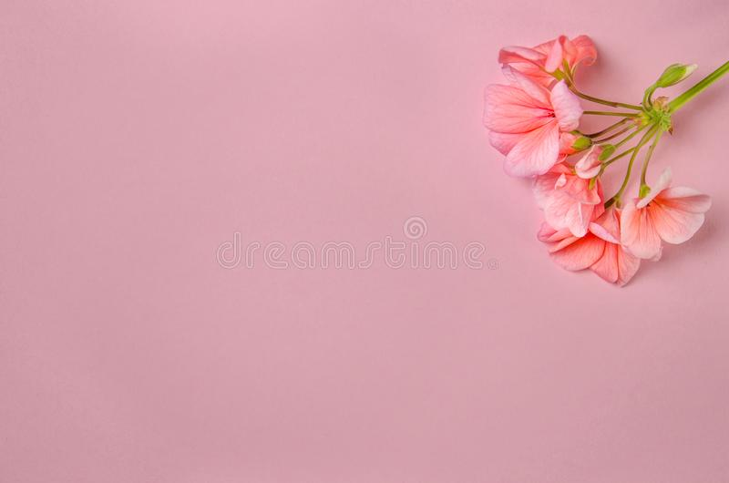 The flower of a geranium of coral color lies against the background of a delicate coral color stock photos