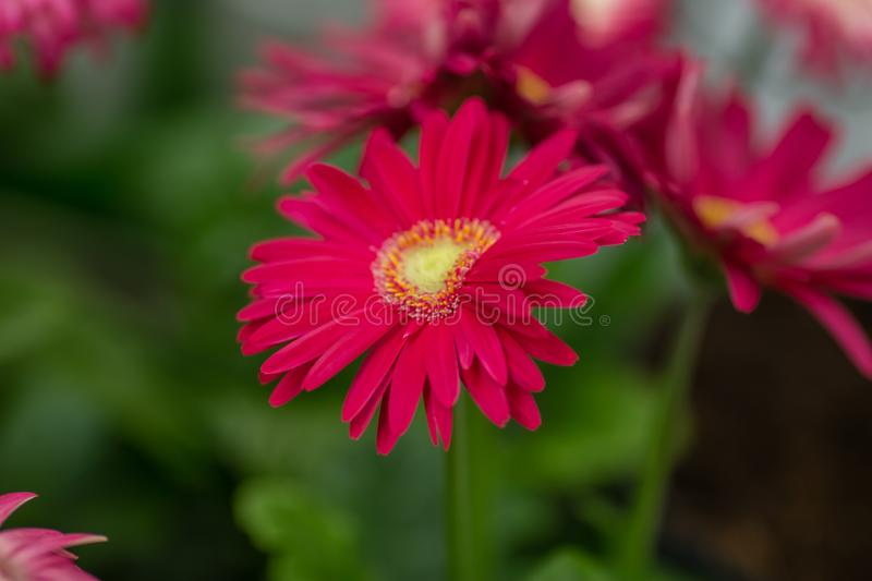 Flower gerbera on the counter in the flower shop royalty free stock image