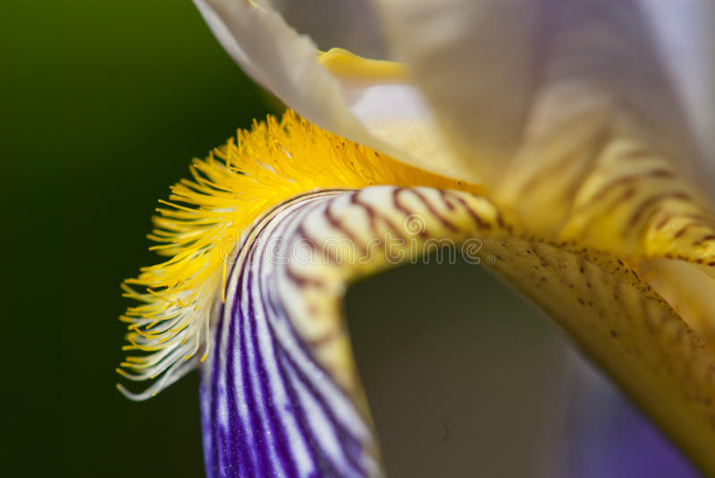 Flower of German Iris, Detail stock photo
