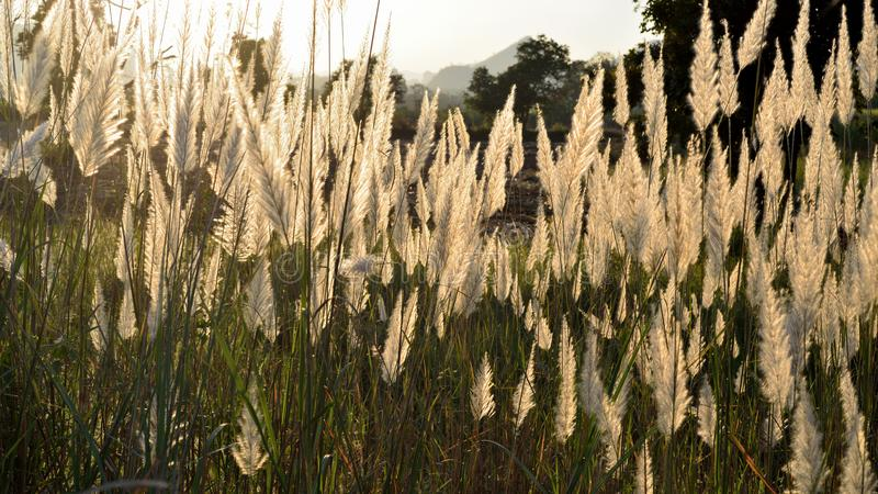 The flower of Giant reed stock photos