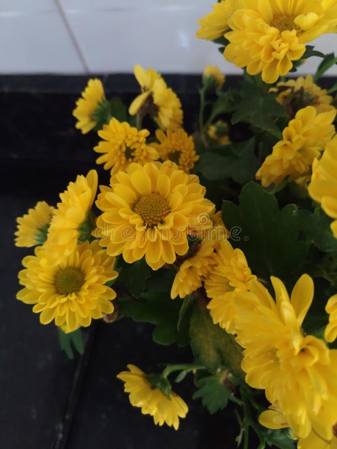 Flower. Girasol Floral amarelo yellow flower royalty free stock photography