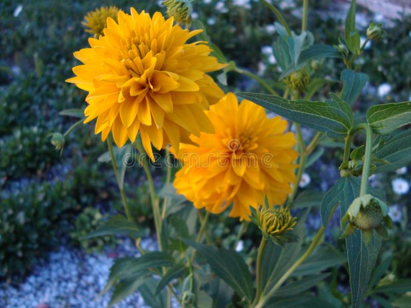 Flower `Golden ball`so called rudbecia dissected with large double spherical inflorescences Golden yellow. stock image