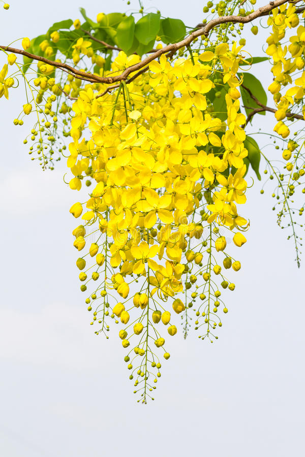 Flower of golden shower tree royalty free stock photo