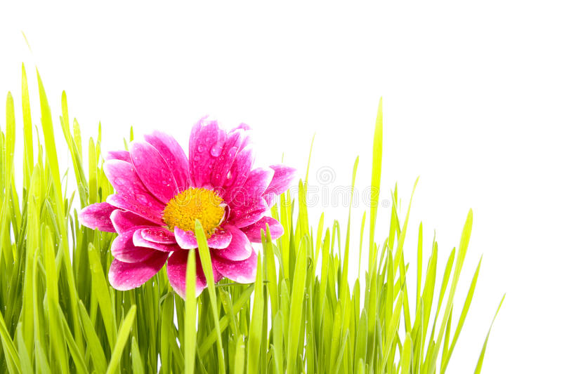 Flower with grass royalty free stock image