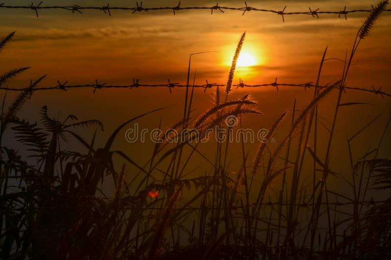 Flower grass dog tail Swaying And the sun on morning. royalty free stock image