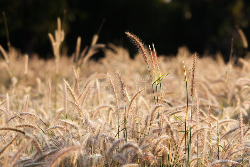 Flower Of The Grass Stock Photography