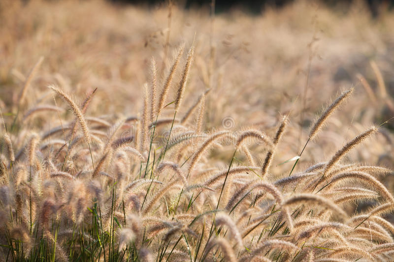 Download Flower of the grass stock image. Image of morning, gold - 37461307