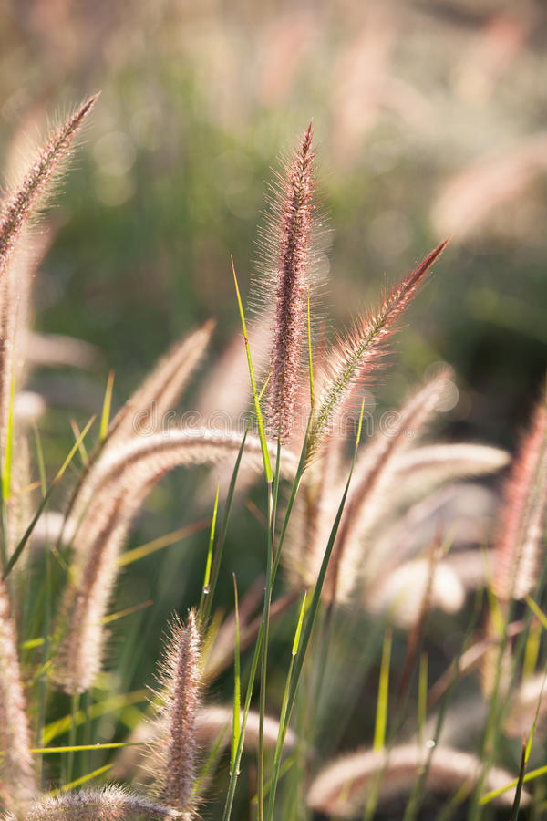 Flower Of The Grass Royalty Free Stock Photography