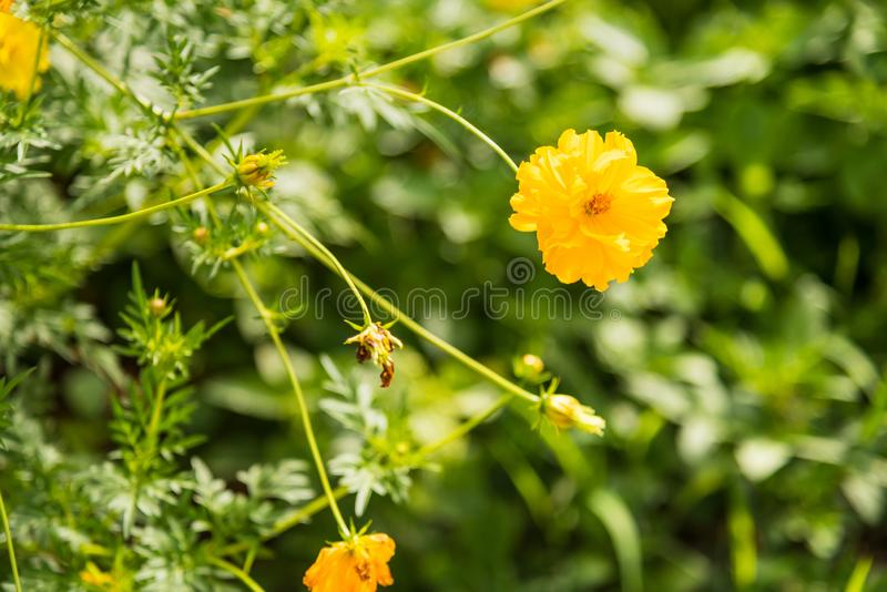 Flower & green plant in the park.Thailand. Agriculture, asia, background, beautiful, beauty, bloom, blooming, blossom, blue, botanical, botany, bright, closeup royalty free stock image