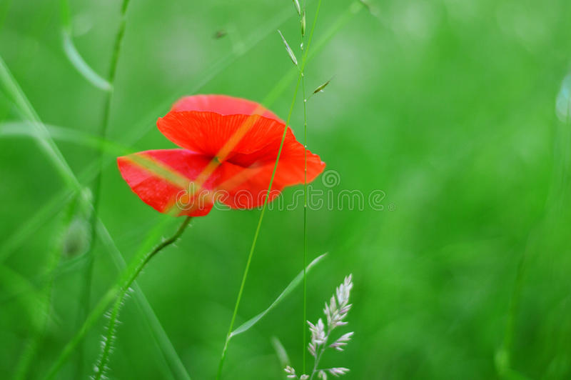 #flower#grin#grass#Summer#Papaver# royalty free stock photo