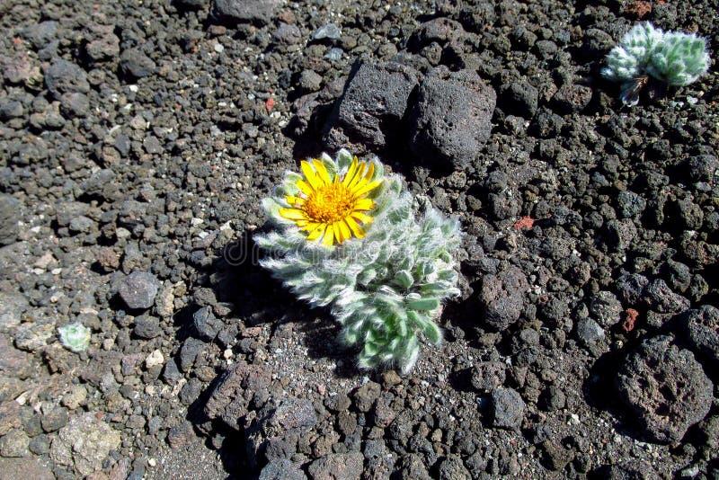 Flower grow on stones. Plant with flower grow on volcanic black stones stock photo