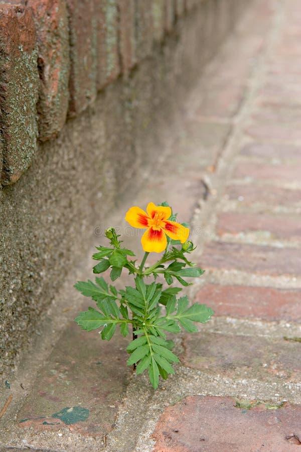Flower growing between bricks royalty free stock photos