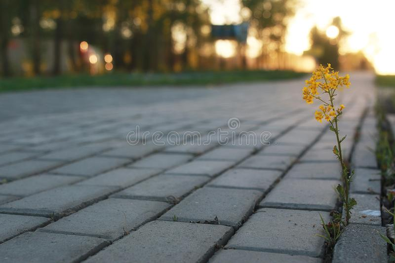 Flower growing through the paving stone at sunset. Flower growing through the gray paving stone at sunsetr royalty free stock photos