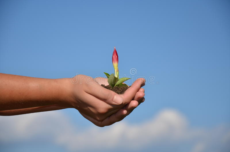 Flower growing in hands royalty free stock image