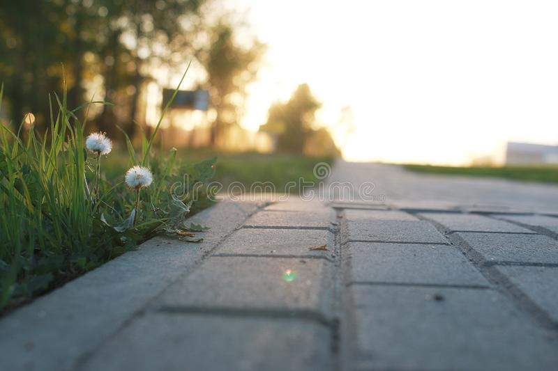Flower growing through the paving stone at sunset. Flower growing through the gray paving stone at sunsetr stock photography