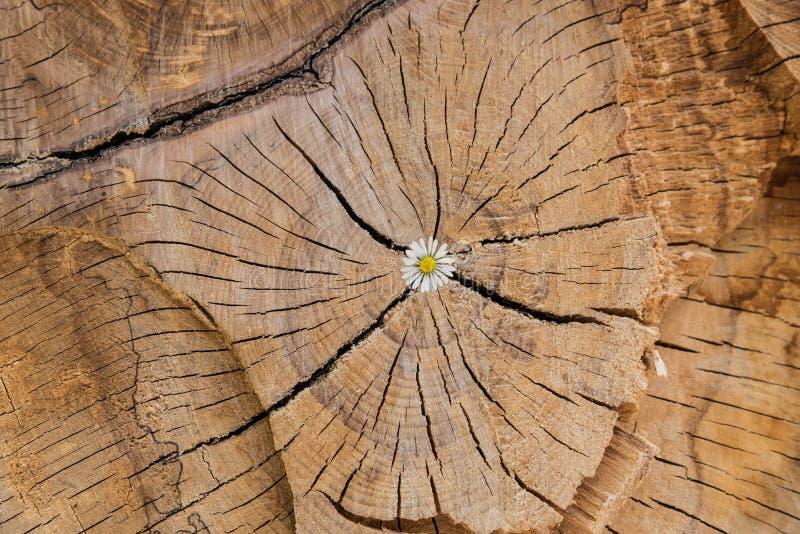 Flower growing in wood log royalty free stock image