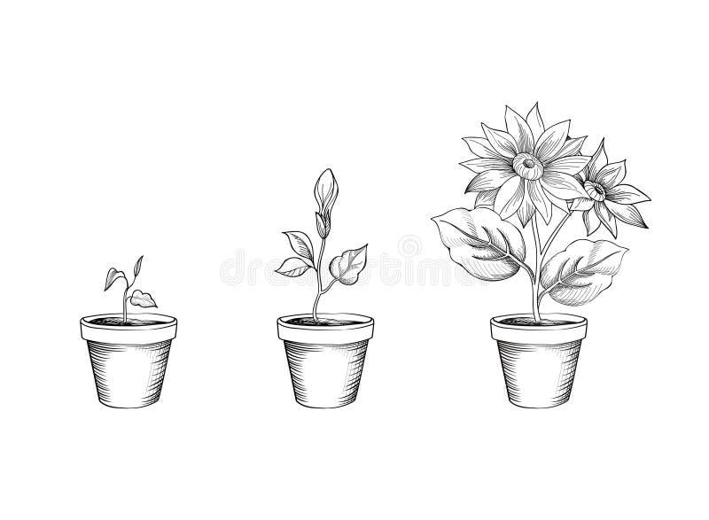 Flower growth set. Floral pot. Plant bloom stages royalty free illustration