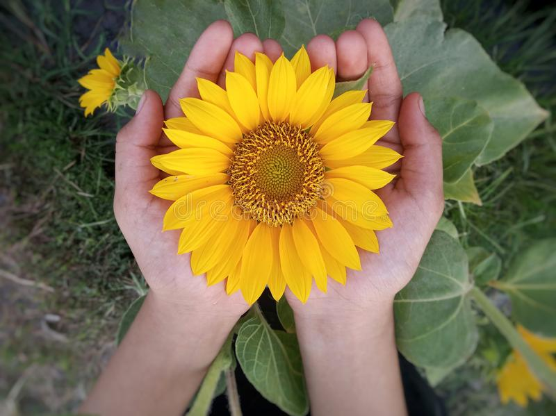 Flower in hand closeup. Big sunflower blossom in open hand. Yellow flower in young girl hand on top view background. royalty free stock photos
