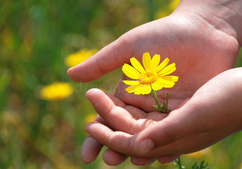 Yellow Flower in hands of a child stock image