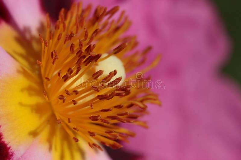 Flower. Hart van Zonneroos, delicate but full of power royalty free stock photo