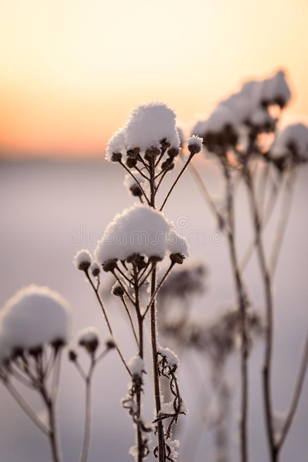 The flower has covered with heavy snow and sunset time in winter season at Holiday Village Kuukiuru, Finland. Background beautiful blizzard blue branch stock images