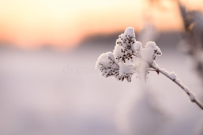 The flower has covered with heavy snow and sunset time in winter season at Holiday Village Kuukiuru, Finland stock photos