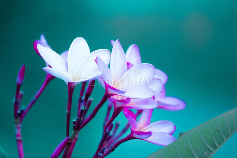 This flower has a few colors. stock photography