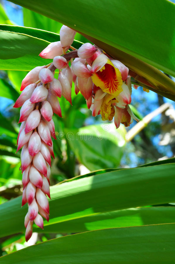 A flower of Hawaiian wild Ginger royalty free stock photography