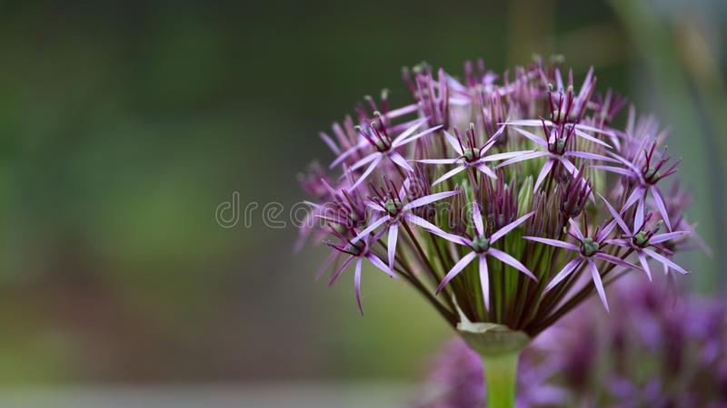 Flower head of Allium Purple Sensation Allium aflatunense in summer garden stock images