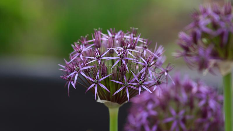 Flower head of Allium Purple Sensation Allium aflatunense in summer garden stock photos