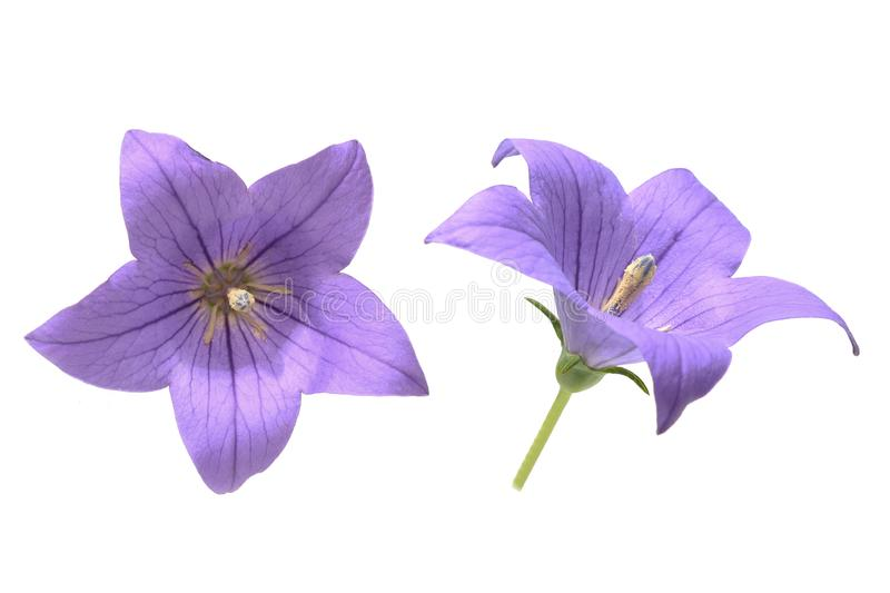 Flower head of balloon flower in a white background. Pictured flower head of balloon flower in a white background stock photo