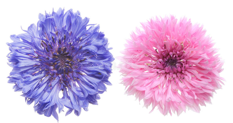 Flower head of cornflower stock photography