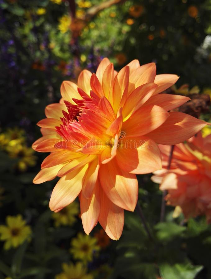 Flower head of a Dahlia cactus `Garden Party` in orange color in the sun royalty free stock image
