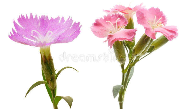 Flower head of dianthus. Pictured flower head of dianthus in a white background stock images