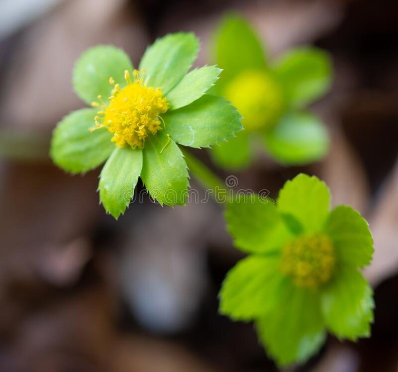 Flower head of Hacquetia epipactis royalty free stock images