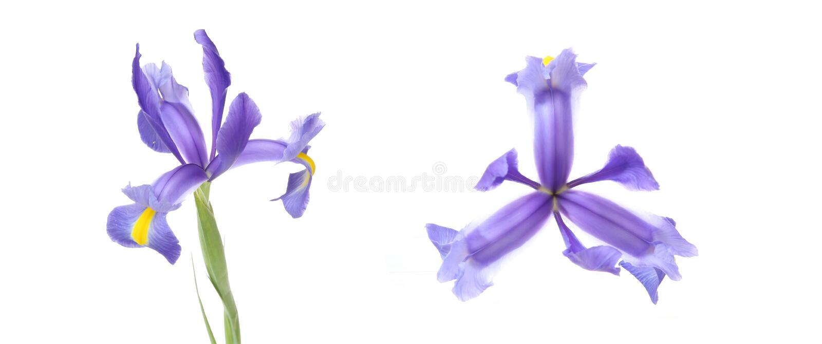 Flower head of iris in a white background royalty free stock photography