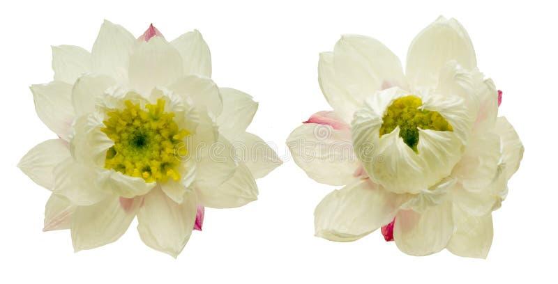 Flower head of paper daisy stock photo