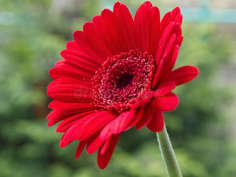 Flower head of the red cultivar of Gerbera, on the green background stock photography