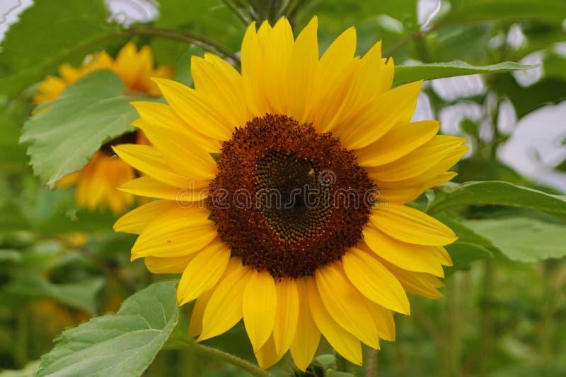 Flower head of a sunflower in the Garden in Nieuwerkerk aan den IJssel the Netherlands. royalty free stock photo