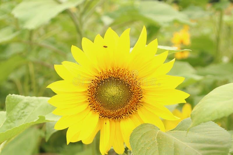 Flower head of a sunflower in the Garden in Nieuwerkerk aan den IJssel the Netherlands. stock image