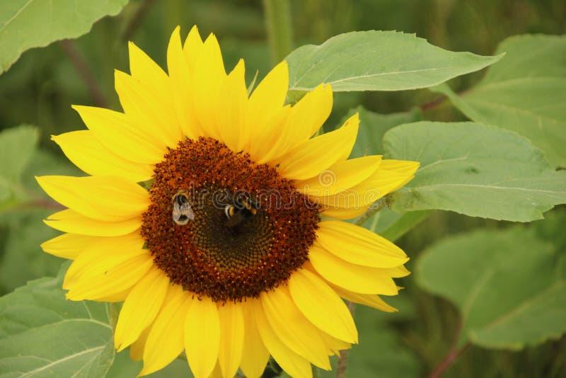 Flower head of a sunflower in the Garden in Nieuwerkerk aan den IJssel the Netherlands. stock photography