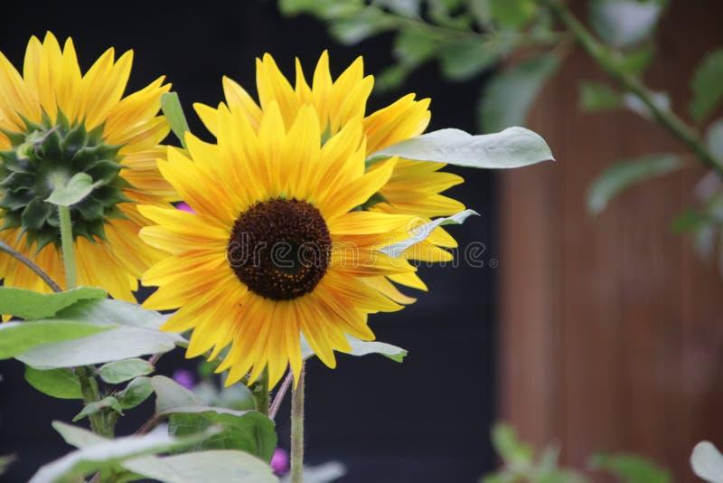 Flower head of a sunflower in the Garden in Nieuwerkerk aan den IJssel the Netherlands. royalty free stock photos