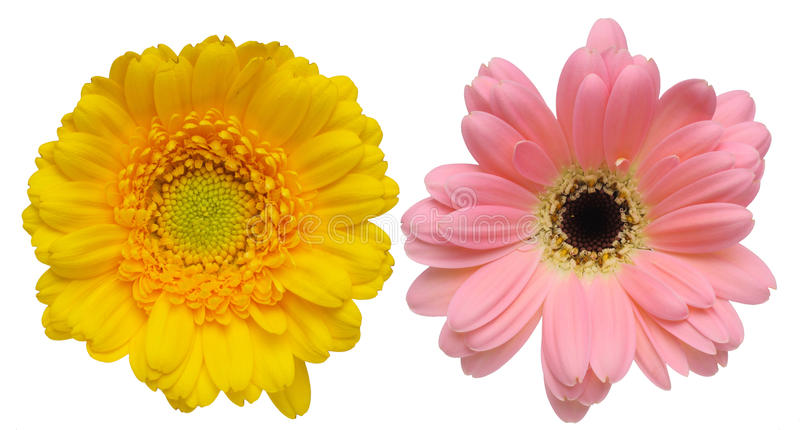 Download Flower Head Of Transvaal Daisy Stock Image - Image of background, indoor: 39506297