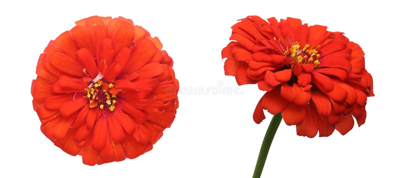 Flower head of zinnia royalty free stock photo