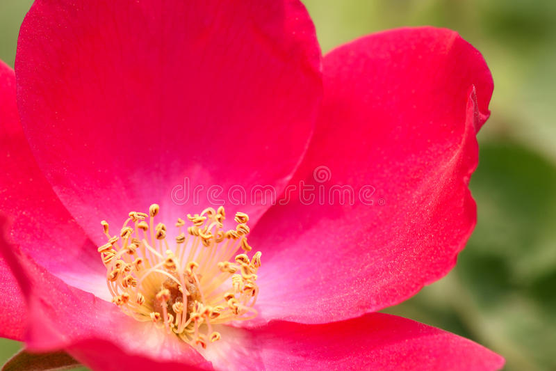 Flower heart. The Flower heart of China rose royalty free stock image