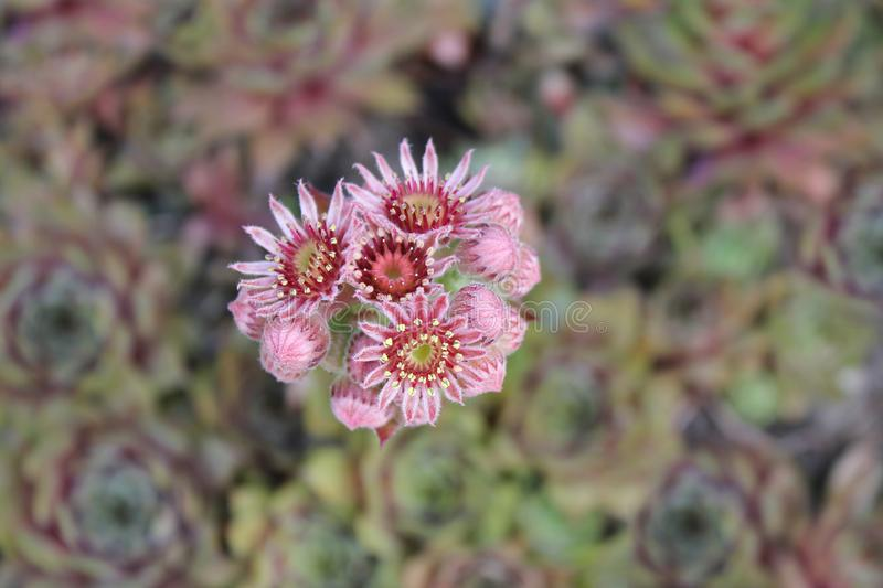 In the garden. Flower of hen and chicks also known as hen-and-chickens, or hens-and-biddies in the American South royalty free stock images