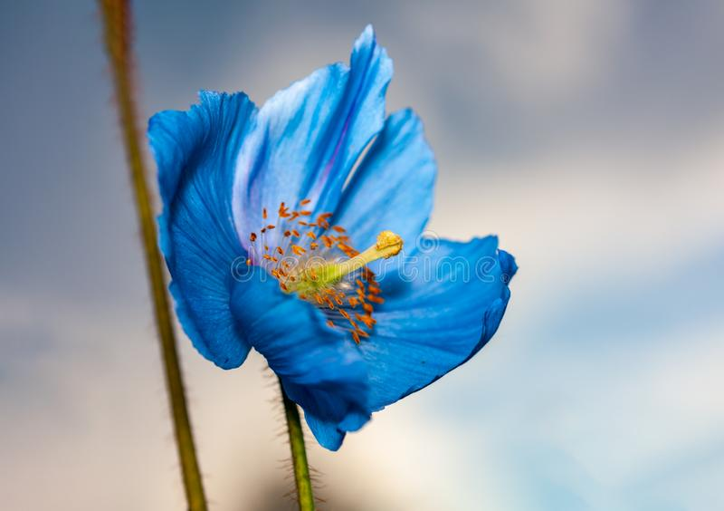 Flower Himalayan blue poppy Meconopsis betonicifolia. Sky in the background stock photography